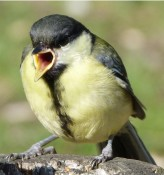 Great tit bird pic