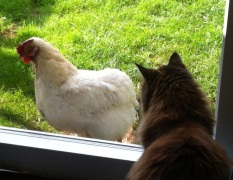 Poorly chuffin cat and sick chicken comparing symptoms