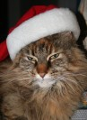 Chuffin cat in a Christmas hat